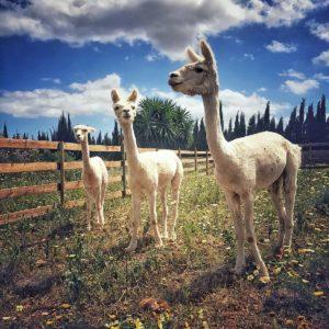 3 Alpakas auf der Hacienda Mallorca