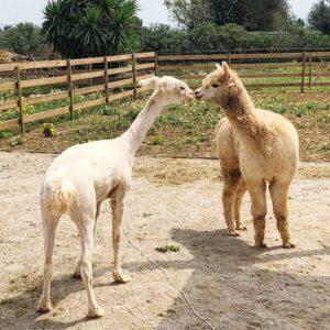 Alpakas vor und nach der Schur