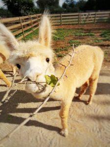 Alpakas auf Mallorca füttern