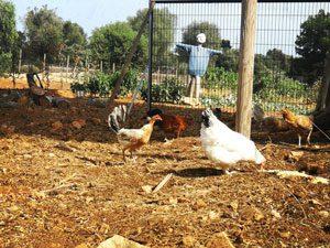 Frei laufende Hühner und Gemüsegarten auf Can Agustin