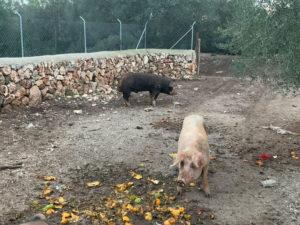 Schweinhaltung auf Can Agustin Mallorca
