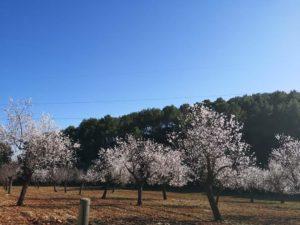 Mandelblütenzeit auf Can Agustin Mallorca