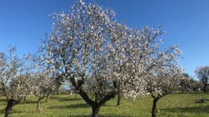 Mandelblüten auf Mallorca Can Agustin