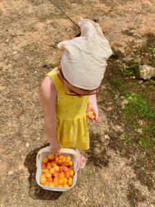 Stolze Erntehelferin für Aprikosen