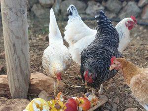 Hühner auf der Finca Can Agustin