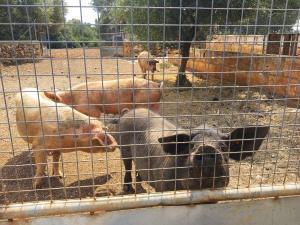 Eber Toni und seine 4 Schweinedamen