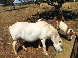 Hof-Pferde Balu und Bonny