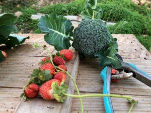frisches Gemüse aus eigenem Anbau Finca Mallorca für 22 Personen Can Agustin