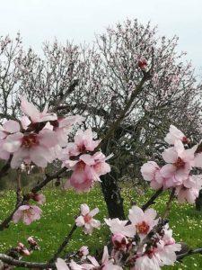 Rosa Mandelblüten auf Mallorca